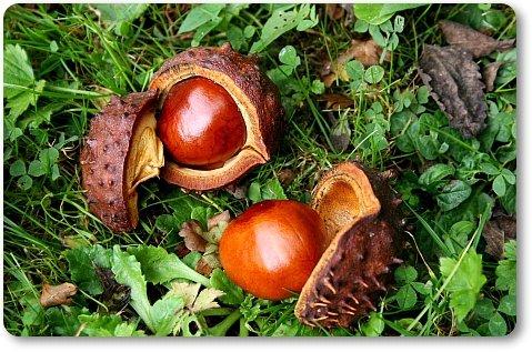 Лечение суставов гиалуроновой кислотой. Плоды конского каштана